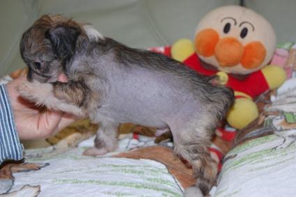 チャイニーズクレステッドドッグの子犬の写真No.201103113-2