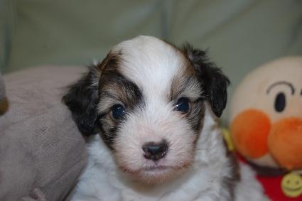 チャイニーズクレステッドドッグの子犬の写真No.201103111
