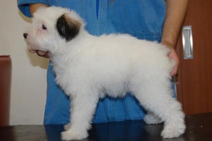 チャイニーズクレステッドドッグの子犬の写真No.201103112-2