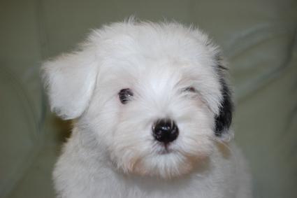 チャイニーズクレステッドドッグの子犬の写真No.201103112