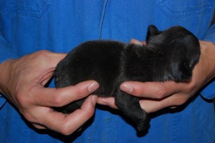 フレンチブルドッグの子犬の写真200903075-2