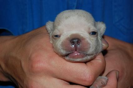 フレンチブルドッグの子犬の写真200903072