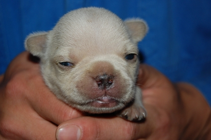 フレンチブルドッグの子犬の写真200903071