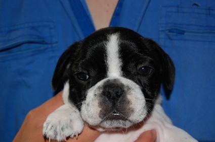 2009年4月14日産まれのフレンチブルドッグ子犬の写真