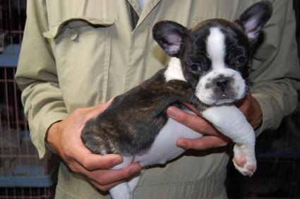 フレンチブルドッグのメスの子犬の側面写真