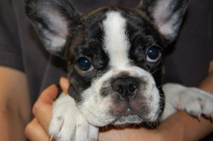 フレンチブルドッグの子犬の写真200904142