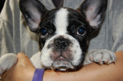 フレンチブルドッグのメスの子犬の写真