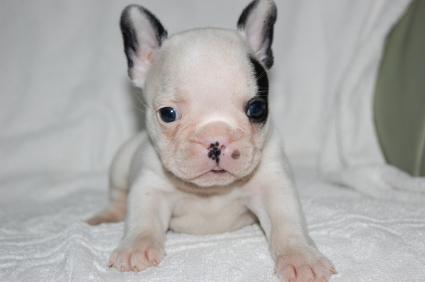 フレンチブルドッグのメス1頭目の子犬の写真