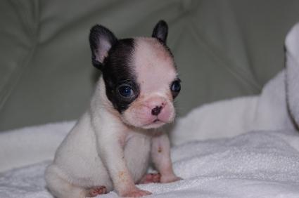 フレンチブルドッグのメス2頭目の子犬の写真