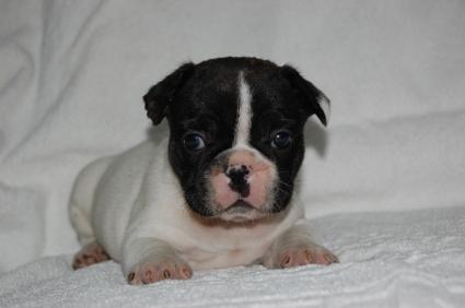 フレンチブルドッグのオスの子犬の写真