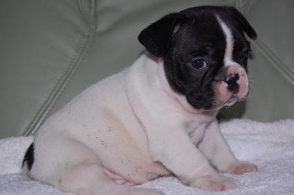 フレンチブルドッグの子犬の写真200909011-2