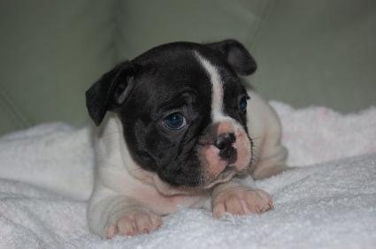 フレンチブルドッグの子犬の写真200909011