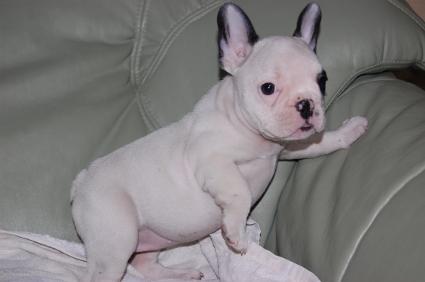 フレンチブルドッグの子犬の写真200909012-2