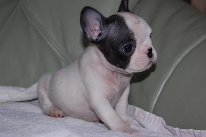 フレンチブルドッグの子犬の写真200909013
