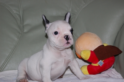 フレンチブルドッグの子犬の写真200909012