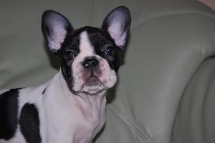 フレンチブルドッグの子犬の写真200909014