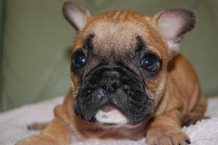 2009年11月5日産まれのフレンチブルドッグ子犬の写真