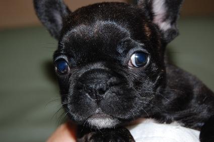 2009年12月8日産まれのフレンチブルドッグ子犬の写真