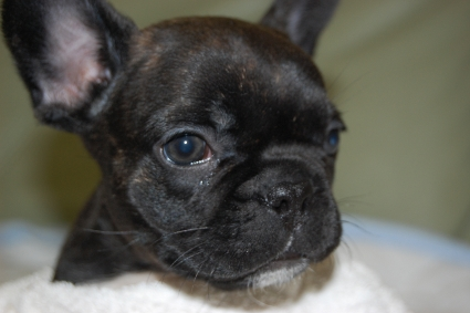 フレンチブルドッグの子犬の写真200912081