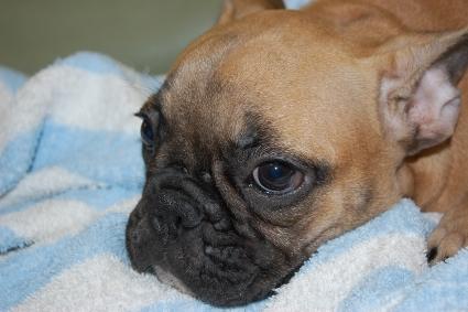 フレンチブルドッグの子犬の写真200911051