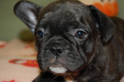 フレンチブルドッグの子犬の写真201001242