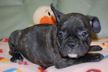 フレンチブルドッグの子犬の写真201001242-2