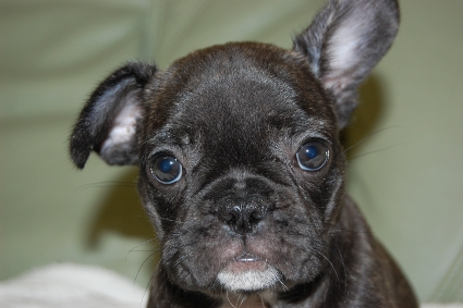 フレンチブルドッグの子犬の写真201001243