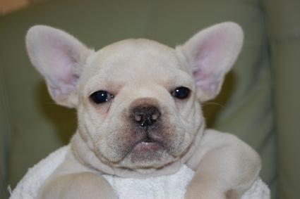 フレンチブルドッグの子犬の写真201001244