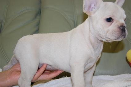 フレンチブルドッグの子犬の写真201001244-2