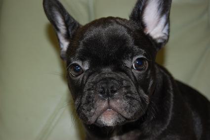 フレンチブルドッグの子犬の写真201001241