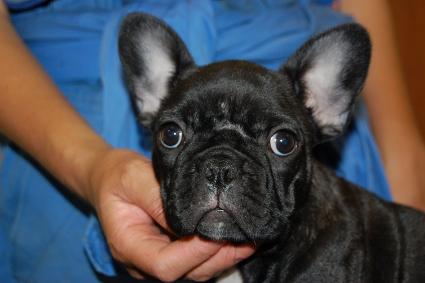 2010年5月6日産まれのフレンチブルドッグ子犬の写真