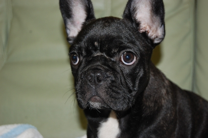 フレンチブルドッグの子犬の写真201005061