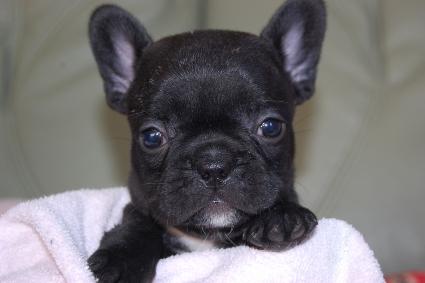 フレンチブルドッグの子犬の写真201009294