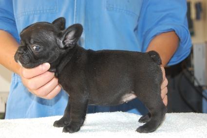 フレンチブルドッグの子犬の写真201009294-2