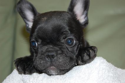 フレンチブルドッグの子犬の写真201009292