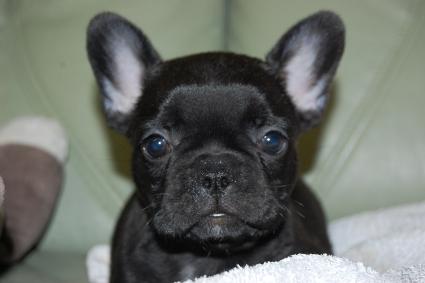 フレンチブルドッグの子犬の写真201009293