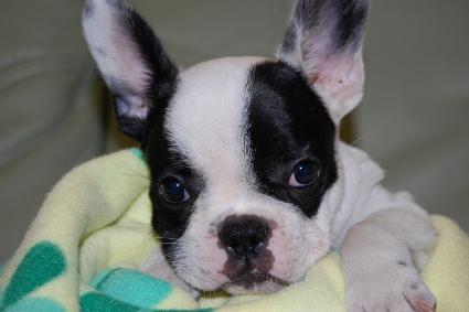 フレンチブルドッグの子犬の写真201009291