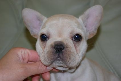 2011年2月13日産まれのフレンチブルドッグ子犬の写真
