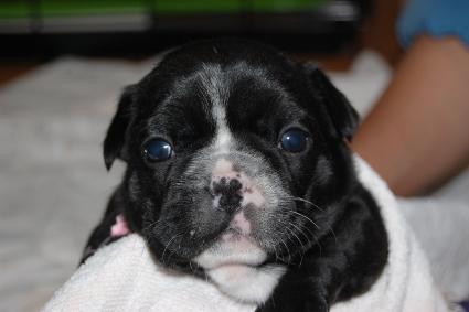 フレンチブルドッグの子犬の写真201103273