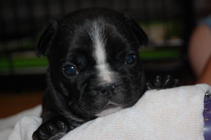フレンチブルドッグの子犬の写真201103274