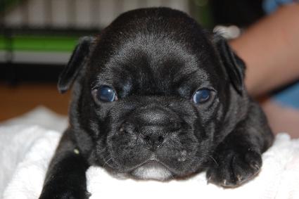 フレンチブルドッグの子犬の写真201103271