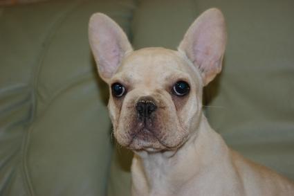 フレンチブルドッグの子犬の写真201102131