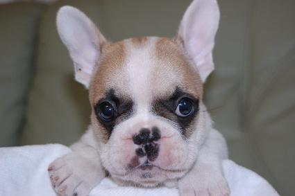 フレンチブルドッグの子犬の写真201105131