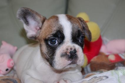 フレンチブルドッグの子犬の写真201105304