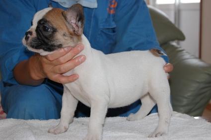 フレンチブルドッグの子犬の写真201105134-2