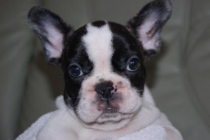 フレンチブルドッグの子犬の写真201105301