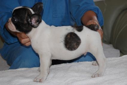 フレンチブルドッグの子犬の写真201105131-2
