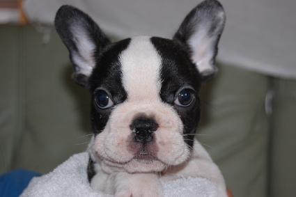 フレンチブルドッグの子犬の写真201105303