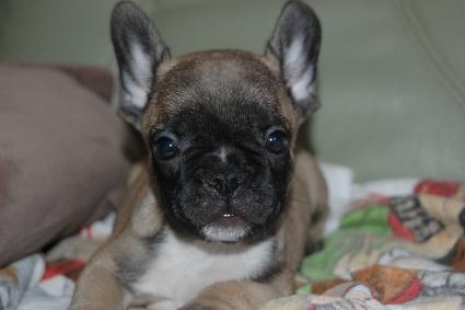 フレンチブルドッグの子犬の写真201106041