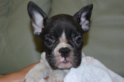 フレンチブルドッグの子犬の写真201108242